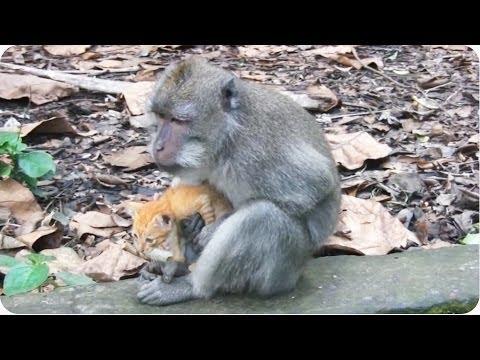 Monkey Adopts Kitten | Adorable Unlikely Pair