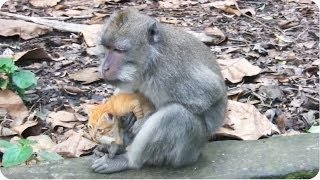 Monkey Adopts Kitten | Adorable Unlikely Pair