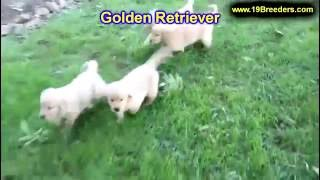 Louis sale retriever puppies st Golden for