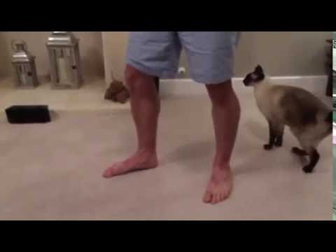 Siamese cat jumps on your back ~ Clever Siamese
