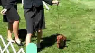 Miniature Dachshunds At Greater Racine Kennel Club Dog Show