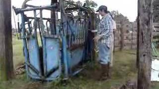 Working Cattle 5