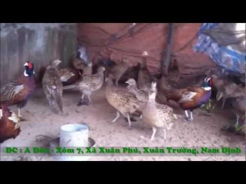 Cung cap giong chim tri do tai Nam Dinh