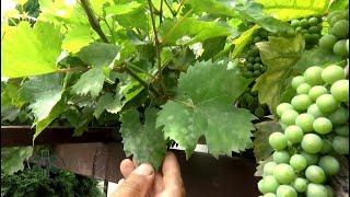 Jak zwalczyć choroby winorośli?