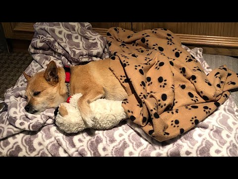 30 minutes of my Cute Dog Snoring. ASMR. Go to Sleep, Study or Meditate with my Dog.
