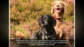 Дратхаар Крупные породы собак
