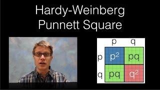 Hardy-Weinberg Punnett Square