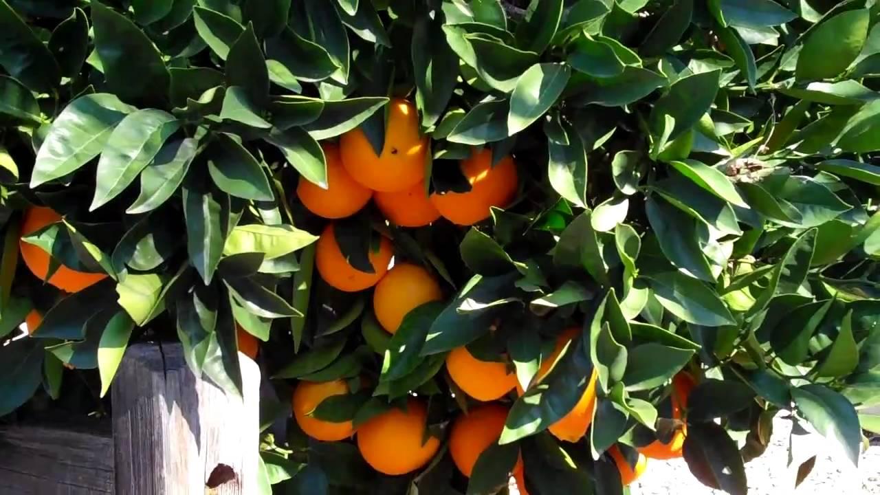 112 Orange Tree Advice You