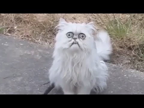 Weirdlooking cat Wilfred goes viral with Michael Rapaport voiceover