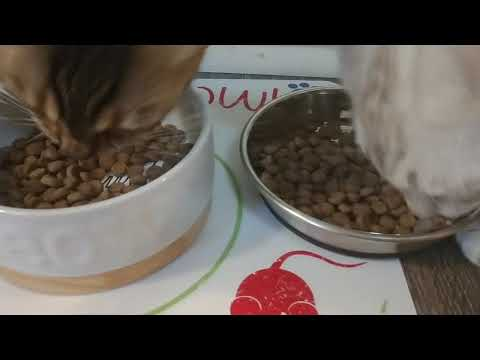 Nature's Veriety Instinct Ultimate Protein Cat Food Review With Bengal Cats