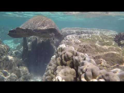 Snorkeling At Baby Beach Maui, Hawaii  With A Big Sea Turtle!