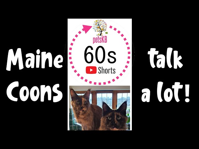 Maine Coons Talk A Lot #Shorts