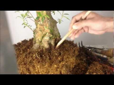 """satsuki-azalea-bonsai-""""yamanohikari""""-皐月盆栽-山の光"""