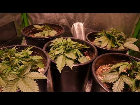 The Lifecycle of the Autoflowering Cannabis Plant - Fast
