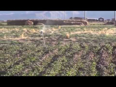 riego por aspersión en quinua Perú thumbnail