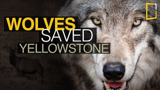 Wolves saved Yellowstone National Park - The Northern Range