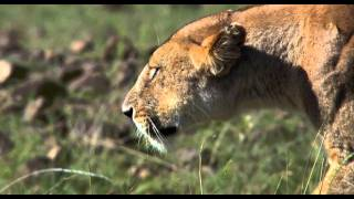 African Cats: Hunters Being Hunted - Clip
