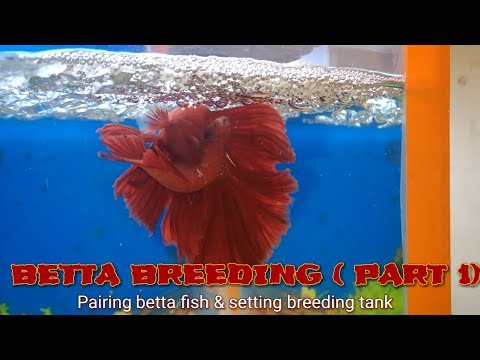 HOW TO BREED BETTA ( PART 1) - PAIRING BETTA FISH & SETTING BREEDING TANK in Hindi with English cap.