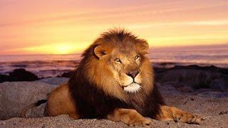 Дикая природа Супер хищники Лев National Geographic Wild.mp4