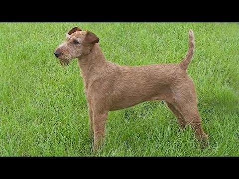 Dog Breed Video: Irish Terrier