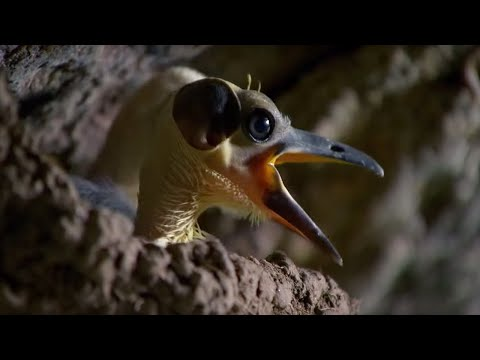 The Birds That Have Lived for 44 Million Years | Africa | BBC