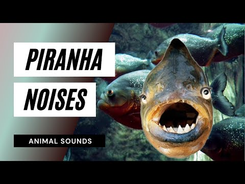 the animal sounds piranha noises sound effect animation youtube