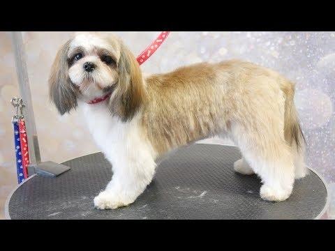 Grooming Guide - Full Grooming Shih Tzu Puppy #48