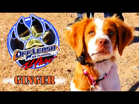 5mo Brittany Spaniel, Ginger - Best Dog Trainer - El Paso, TX