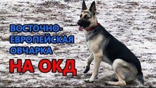 Восточно-европейская овчарка Ева на ОКД. Испытания по ОКД.