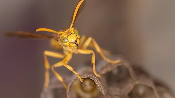 Yellow Paper Wasp