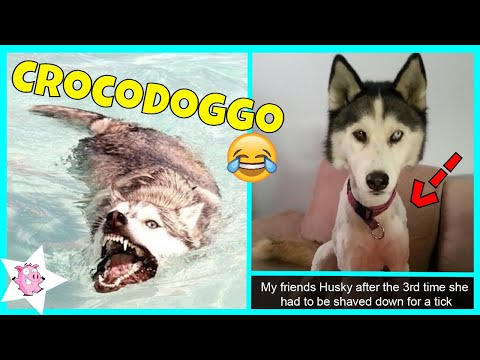 The Funniest Posts About Huskies