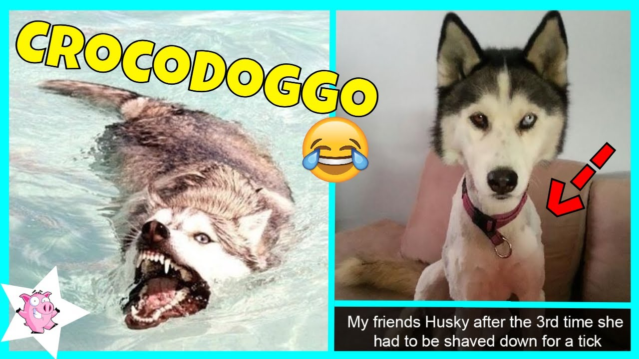 The Funniest Posts About Huskies Youtube
