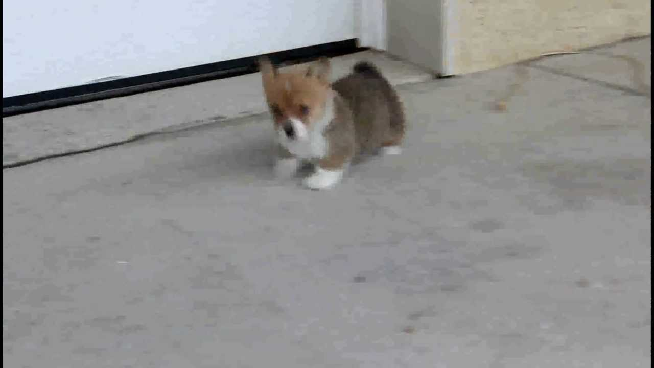 Welsh Corgi Pembroke Puppies For Sale - YouTube