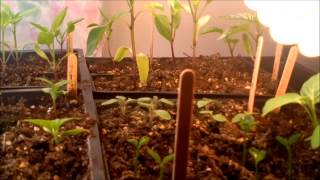 Indoor Grow Update Part 4