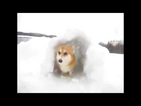 The Cutest Pembroke Welsh Corgi Puppy Compilation Ever!