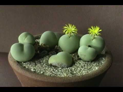 Conophytum Blooming Time Lapse