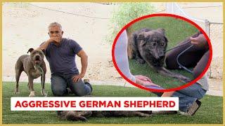 Cesar! My dog won't walk on the leash! (Aggressive Australian Shepherd!)