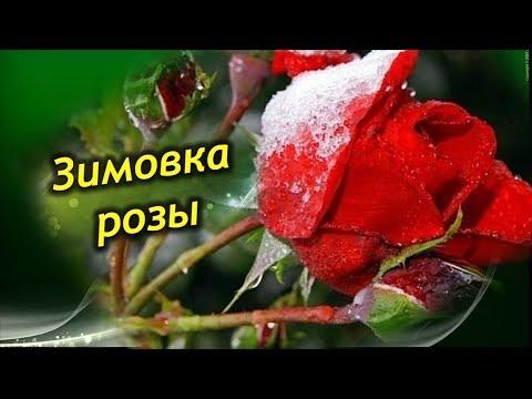 Зимовка комнатной розы. Как должна зимовать роза в горшке на подоконнике?