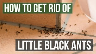 How To Get Rid Of Little Black Ants 3 Easy Steps Youtube