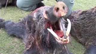 Repeat youtube video driven wild boar hunt (Monteria) in Spain / Treibjagd in Spanien / drevjakt i Spanien (JR Hunting)