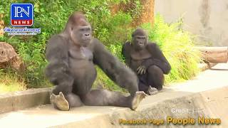 នេះបានគេហៅថា កំពូលស្វាកំហូចមែន ធំតែមាឌទេ តែលេងដូចក្មេង - Gorilla Drumming Monkey