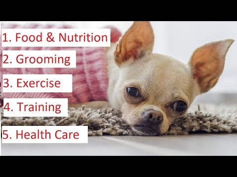 Chihuahua 101 - Feeding, Grooming, Training & Health Care of Chihuahua