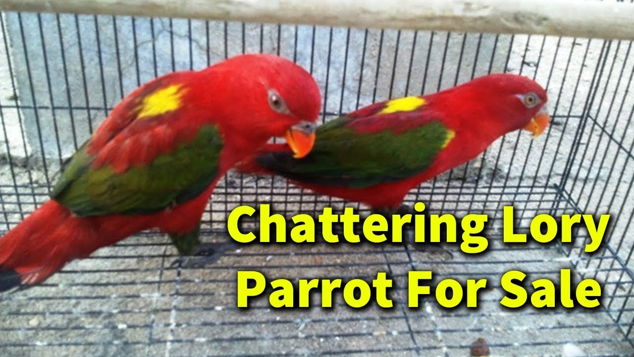 Chattering Lory Parrot For Sale in Pakistan