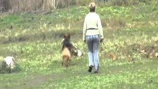 Немецкая овчарка ХУЧ ИЗ СМОЛЕНСКОЙ КРЕПОСТИ