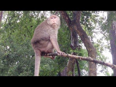 Wildlife - Real life of monkeys at Angkor Wat Temple of Cambodia