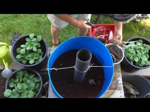 How to grow potatoes in a large barrel