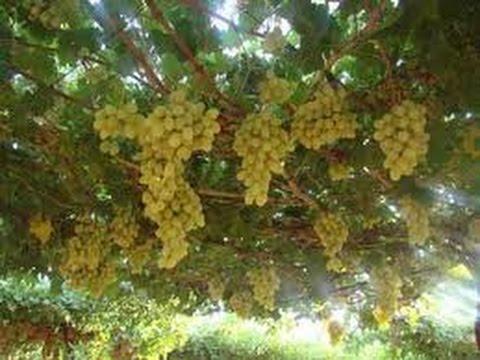 تفسير حلم العنب وأكله في المنام رؤية العنب