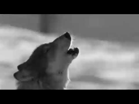 Гифка волк бежит на луну