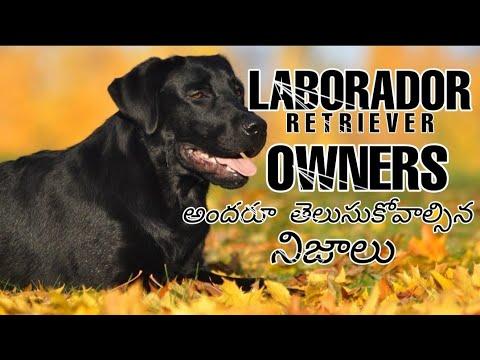 Laborador facts in telugu ll popular breed dog ll NITISH ANDROID TECH IN TELUGU