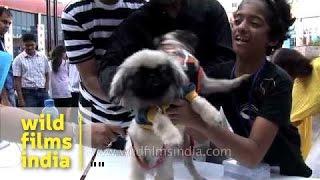 Pekingese To Take Part In Mass Canine Wedding